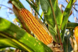 Corn imports dominate Mexico